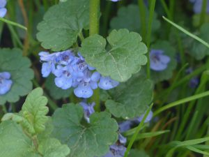 ground ivy /hondsdraf